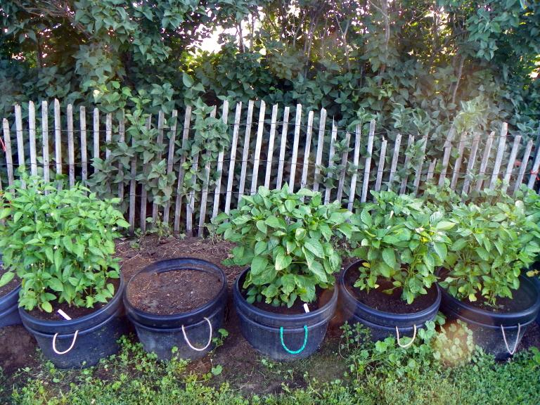 07-28-14 Peppers.jpg
