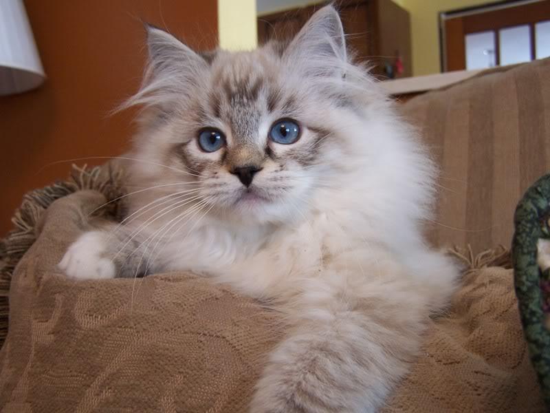ragdoll cat 8.jpg